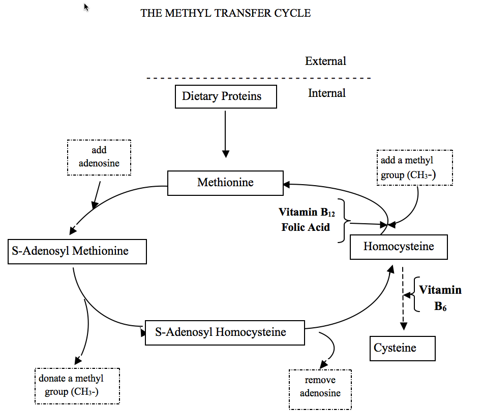 Depiction of The Methyl Transfer Cycle